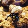 Calcinus elegans , le Bernard l'Hermite à patte bleue .