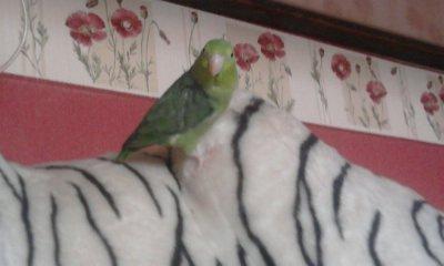 Pin's ma perruche elevé main ( EAM )
