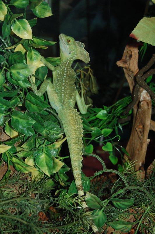Basilique vert (Basiliscus plumifron)