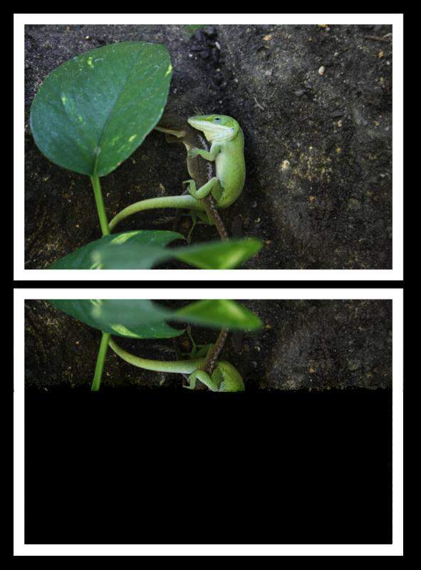 Anolis carolinensis (Anolis vert)