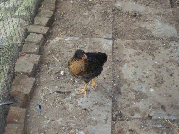 voila les poulettes qui poussent trés bien.