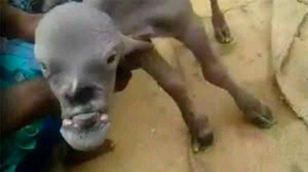 Une chèvre victime d'un viol