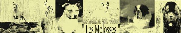 - Les Molosses -