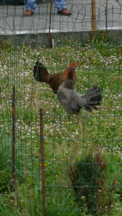 Ma poule gris. joli☺