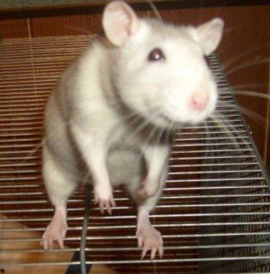 Le rat.... Qui est t-il ?