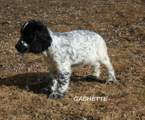 2 CHIOTS MALE COCKER ANGLAIS DISPO DE SUITE