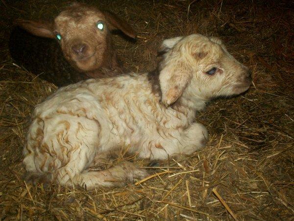 Mise bas de ma brebis: naissances de mes deux premier agneaux ou agnelles ? Ce dimanche.
