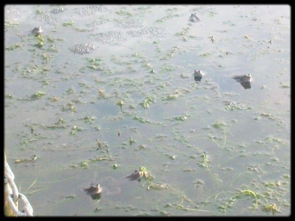Vive le printemps! Les grenouilles ont pondues ce matin dans mon etang.