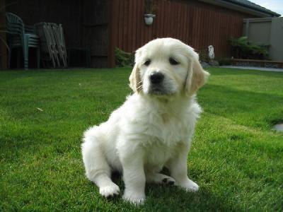 Golden retriever chien trop mimi blog de coco35etmespote - Golden retriever gratuit ...