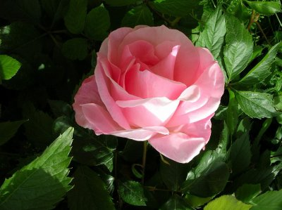 La belle rose pour...