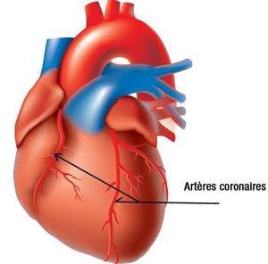 Comme tous les organes, le c½ur est composé de plusieurs types de tissus agencés entre eux ; on y trouve du tissu de revêtement, du tissu de soutien, du tissu contractile et du tissu de conduction.