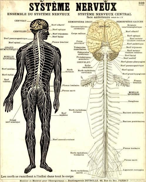 Le système nerveux central ou névraxe est la portion du système nerveux constituée d'une part de l'encéphale, regroupant le cerveau, le tronc cérébral et le cervelet ; d'autre part de la moelle épinière. Il a un rôle de réception, de traitement, d'intégration et d'émission des messages nerveux. Il est donc constitué :