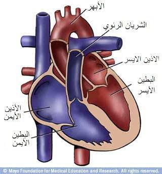 يتألف جدار القلب من ثلاث طبقات: الداخلية وهي الشِّغاف، والوسطى وهي عضلة القلب، والخارجية وهي النِّخاب. تُحاط هذه الطبقات الثلاث بكيس ثنائي الغشاء هوالتامور.