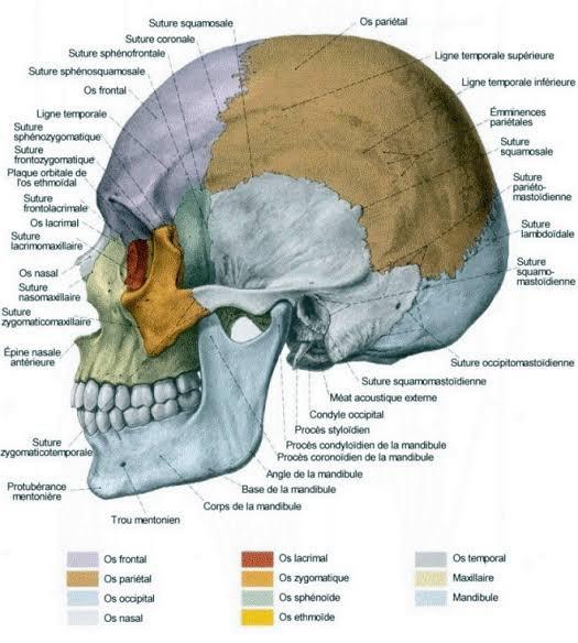 Chez l'homme, le crâne est la partie supérieure du squelette. Il est essentiellement destiné à protéger l'encéphale. Il repose sur le rachis cervical par l'intermédiaire de l'atlas (vertèbre C1), et maintien en antérieur le massif facial.