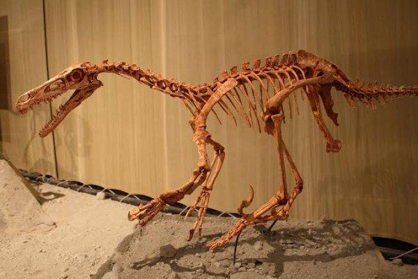 Le vélociraptor (« voleur rapide », nom scientifique Velociraptor) est un genre de petits dinosaures théropodes carnivores bipèdes qui a vécu à la fin du Crétacé, entre 80 et 70 millions d'années avant notre ère.