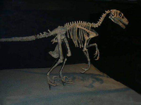 Variraptor est un genre de dinosaure carnivore du Crétacé supérieur. Découvert en France dans le Var d'où son nom qui signifie voleur du Var, il appartient à la famille des Dromaeosauridae. Ce dinosaure mesurait 1,30 m de haut et 3 mètres de long maximum. Variraptor était semblable à Deinonychus mais ces deux carnivores habitaient deux continents différents. Manning a supposé que la griffe hypertrophiée en forme de faucille aurait été une arme d'attaque contre de gros herbivores, ou encore qu'elle ait pu servir à l'animal pour grimper aux arbres, mais Csiki pense que dans les deux cas elle aurait été difficile à décrocher (il eût fallu une musculation rétractile beaucoup plus solide) et qu'il est plus vraisemblable qu'elle ait servi à gratter le sol superficiel pour déterrer des pontes d'autres dinosaures, des mammifères, des tortues ou des amphibiens, ce qui correspond mieux à la modeste dentition de Variraptor.