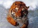 Photo de tigresse59800