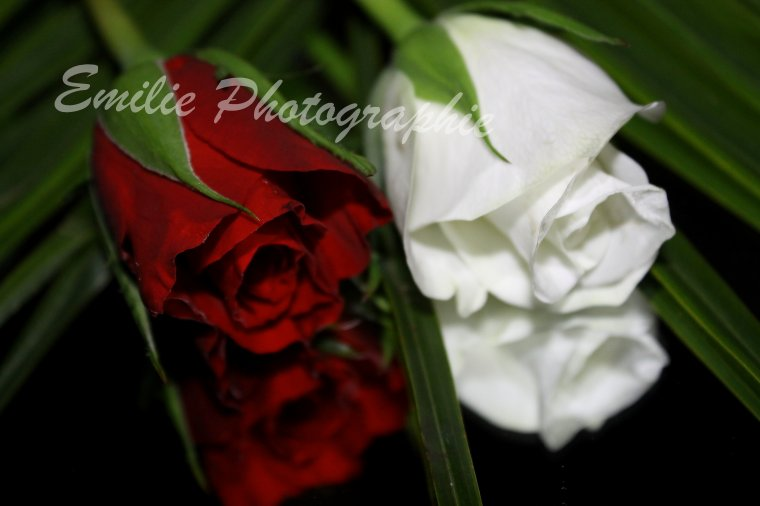 Roses rouge et blanche