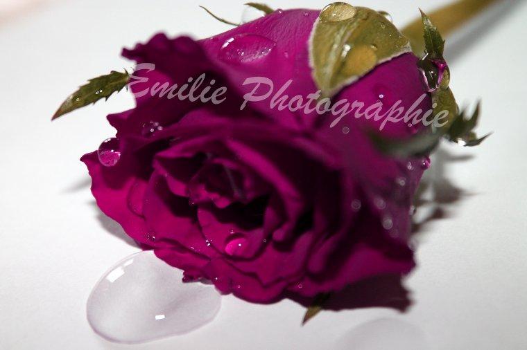 La rose et ses gouttes d'eau