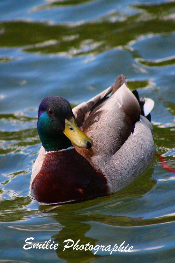Les canards amoureux