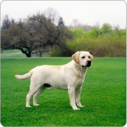 chien de Mirélia