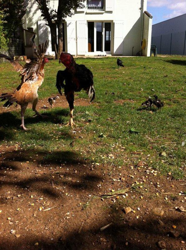 mon gros coq et ma meilleure poule