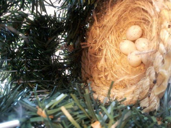 tres beau nid de tarin mais oeufs clairs...dommage