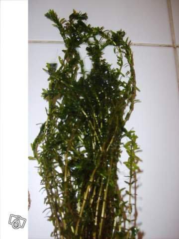 bouquet d 39 lod e du canada plantes aquarium bassin. Black Bedroom Furniture Sets. Home Design Ideas