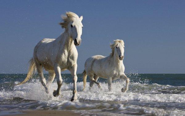 Le cheval camargue <3