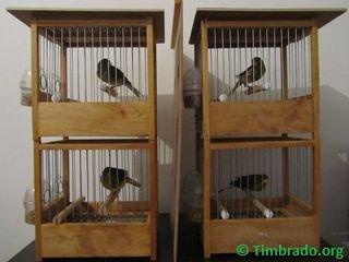 Écolage de canari timbrado