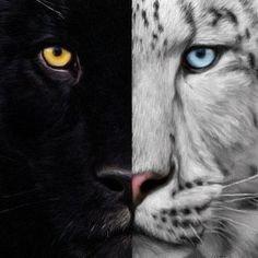 La saga du tigre ... Mon nouveau coup de coeur !!!