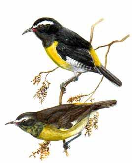 Sucrier ventre jaune de gaston blog de chrisamis for Oiseau ventre jaune