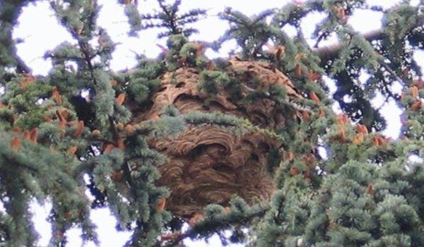 Doué-la-Fontaine, nid de frelons asiatiques en plein centre-ville