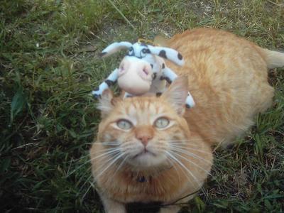 chat vache