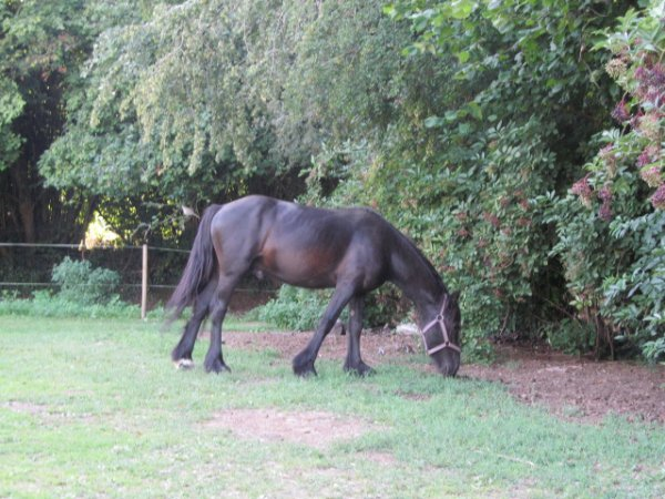 Prince Saphir, poney Fell