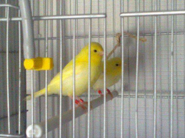 Unos Amarillos, son hermanos ,el primero tiene muy buena talla