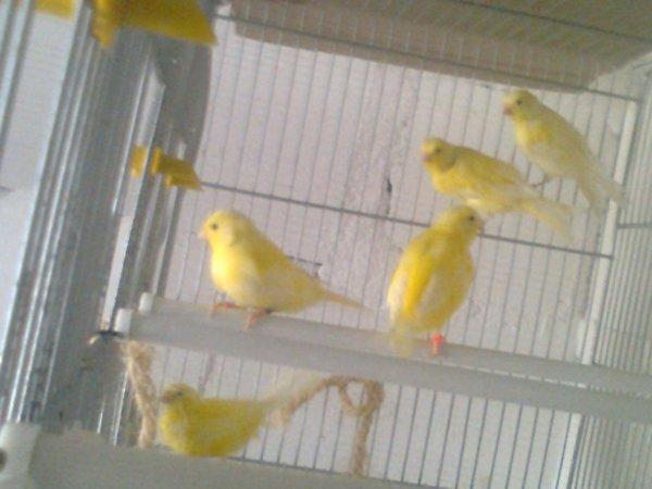 Amarillos en voladera
