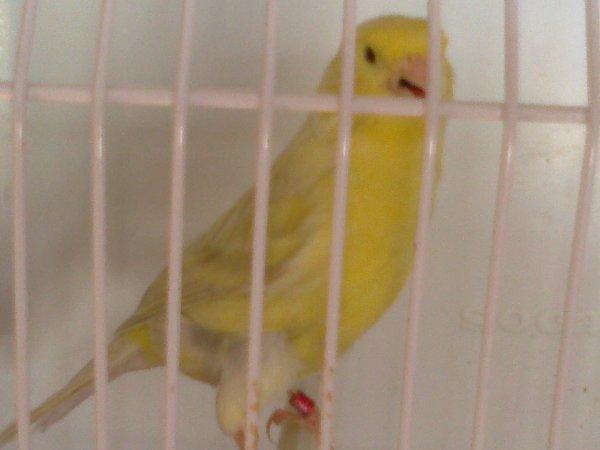 Un saine amarillo marfil nevado