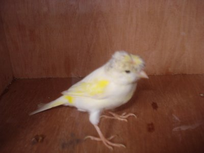 mosaique jaune huppe femelle 2009