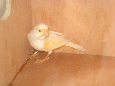 femelle mosaique rouge 2010 non colore   ligne male