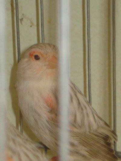 femelles agate topaze MR- femelle agate topaze rouge intensif