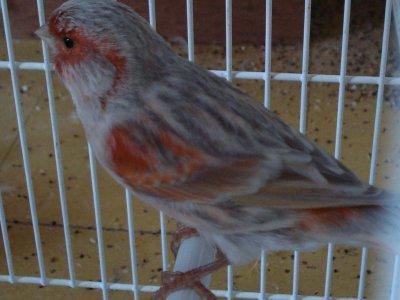 jeune 2011 issu de agate MR  X  agate jaspe MR