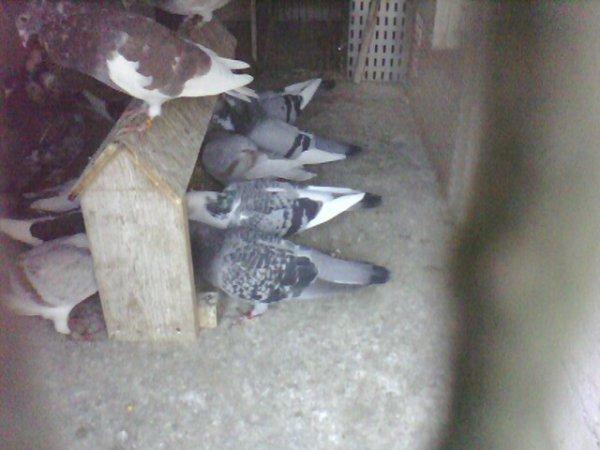 pigeons de mon fils