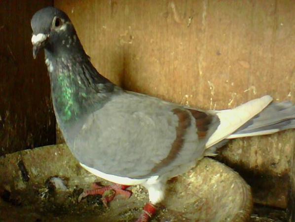 femelle bleu barre indigo