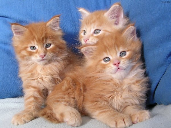 les petites chats