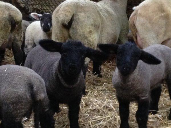 quelques agnelles.