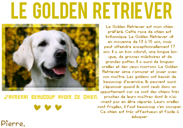 Le Golden Retriever . ♥