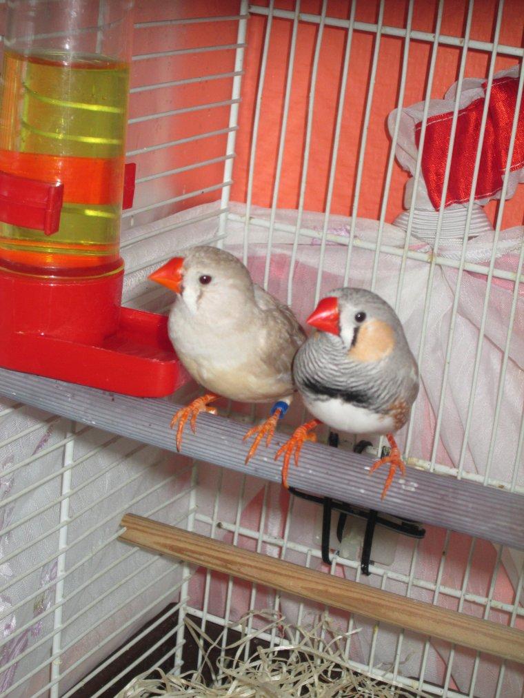 Mon couple de mandarin en repro