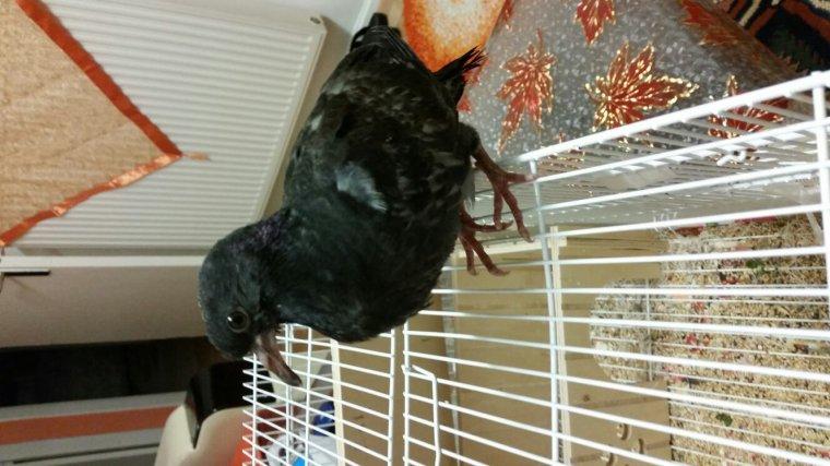 Bebe pigeon trouvé