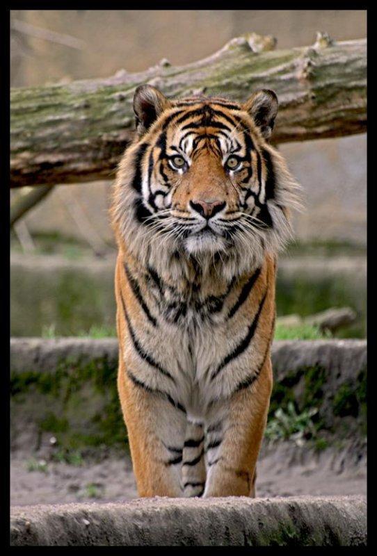 °                 Le tigre                  °